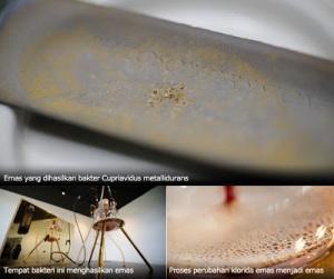 emas-dari-bakteri-Cupriavidus-metallidurans-idbite